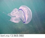 Купить «Черноморская медуза корнерот (лат. Rhizostoma pulmo)», фото № 3969980, снято 3 сентября 2012 г. (c) Владимир Сергеев / Фотобанк Лори