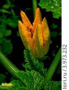 Цветок кабачка. Стоковое фото, фотограф Виктор Карпов / Фотобанк Лори