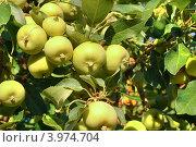 Купить «Яблоки на ветке.Сорт яблони: Уральское наливное», фото № 3974704, снято 25 августа 2010 г. (c) Alexandra Ustinskaya / Фотобанк Лори