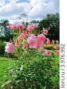 Распустившиеся розовые розы. Стоковое фото, фотограф Алёшина Оксана / Фотобанк Лори
