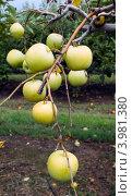 Купить «Желтые яблоки сорта Джонна Голд на ветке», фото № 3981380, снято 1 сентября 2012 г. (c) Ирина Кожемякина / Фотобанк Лори