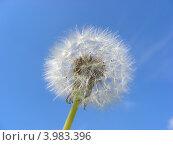 Купить «Белый одуванчик на фоне голубого неба», эксклюзивное фото № 3983396, снято 5 июня 2012 г. (c) lana1501 / Фотобанк Лори