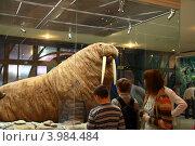 Посетители музея рассматривают моржа (2012 год). Редакционное фото, фотограф Щеголева Ольга / Фотобанк Лори