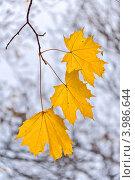 Купить «Три желтых кленовых листа на ветке», фото № 3986644, снято 24 октября 2012 г. (c) Владимир Сергеев / Фотобанк Лори