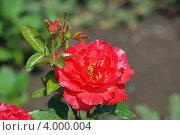 Цветок розы красный. Стоковое фото, фотограф Ольга Старшова / Фотобанк Лори