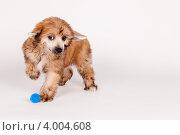 Китайская хохлатая собака. Стоковое фото, фотограф Мария Егунева / Фотобанк Лори
