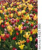 Парад тюльпанов в саду. Стоковое фото, фотограф Анна Андреева / Фотобанк Лори