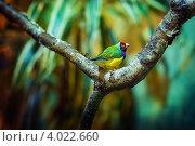 Тропические птицы, амадин. Стоковое фото, фотограф Анна Макеичева / Фотобанк Лори