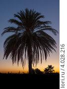 Купить «Силуэт пальмы на закате», фото № 4028216, снято 26 августа 2012 г. (c) Дмитрий Ковязин / Фотобанк Лори