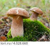 Купить «Белые грибы растущие на мху», эксклюзивное фото № 4028660, снято 12 сентября 2012 г. (c) Игорь Низов / Фотобанк Лори