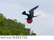 Купить «Птица фрегат в полёте на фоне неба и зелени», фото № 4033732, снято 7 ноября 2012 г. (c) Борис Ветшев / Фотобанк Лори