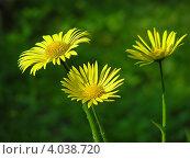 Дороникум восточный (Doronicum orientale) - желтая ромашка. Стоковое фото, фотограф lana1501 / Фотобанк Лори