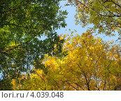 Купить «Небо сквозь разноцветные верхушки осенних ясеней. Три времени года», эксклюзивное фото № 4039048, снято 28 октября 2012 г. (c) Ирина Водяник / Фотобанк Лори