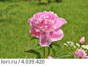 Купить «Розовый пион (Paeonia) на фоне зеленой травы», эксклюзивное фото № 4039420, снято 20 июня 2012 г. (c) lana1501 / Фотобанк Лори