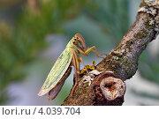 Купить «Маленькая зелёная цикада на корявой ветке, обросшей лишайниками», фото № 4039704, снято 17 июля 2011 г. (c) Забалуев Игорь Анатолич / Фотобанк Лори