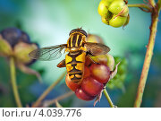 Купить «Журчалка усевшаяся на ягоду ежевики», фото № 4039776, снято 10 августа 2011 г. (c) Забалуев Игорь Анатолич / Фотобанк Лори
