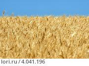 Купить «Пшеница», фото № 4041196, снято 15 июля 2011 г. (c) Игорь Ткачёв / Фотобанк Лори