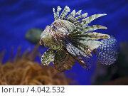 Рыба-лев. Стоковое фото, фотограф Наталья Немчинова / Фотобанк Лори