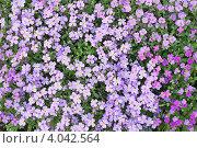 Фон. Мелкие сиреневые цветы. Стоковое фото, фотограф Литвинова Евгения / Фотобанк Лори