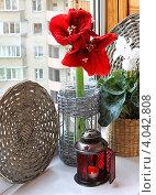 Купить «Красный гиппеаструм на окне в канун зимних праздников», фото № 4042808, снято 11 ноября 2012 г. (c) Олеся Сарычева / Фотобанк Лори