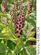 Купить «Фитолакка американская (лат. Phytolacca americana L.)», эксклюзивное фото № 4048724, снято 29 июля 2012 г. (c) lana1501 / Фотобанк Лори