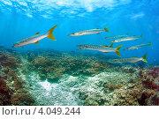 Купить «Стая барракуд над коралловым рифом», фото № 4049244, снято 16 марта 2008 г. (c) Татьяна Белова / Фотобанк Лори