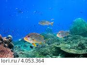 Купить «Рыбы над коралловым рифом. Чернопятнистый сладкогуб (Blackspotted sweetlips)», фото № 4053364, снято 19 марта 2008 г. (c) Татьяна Белова / Фотобанк Лори