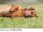 Купить «Такса наигралась и пытается уснуть», фото № 4063892, снято 11 августа 2012 г. (c) Pukhov K / Фотобанк Лори