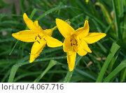Купить «Цветущий жёлтый лилейник (Hemerocаllis)», эксклюзивное фото № 4067716, снято 15 июня 2012 г. (c) Елена Коромыслова / Фотобанк Лори