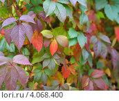 Осенние листья. Стоковое фото, фотограф Алексей Полумордвинов / Фотобанк Лори