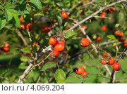 Купить «Плоды шиповника», эксклюзивное фото № 4069204, снято 14 сентября 2012 г. (c) Елена Коромыслова / Фотобанк Лори