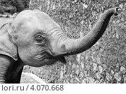 Слоненок с поднятым хоботом, фото № 4070668, снято 20 октября 2017 г. (c) Эдуард Паравян / Фотобанк Лори