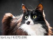 Купить «Красивый пушистый кот», эксклюзивное фото № 4070696, снято 2 декабря 2012 г. (c) Куликова Вероника / Фотобанк Лори