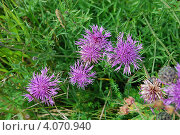 Купить «Василёк шероховатый (Centaurea scabiosa L.)», фото № 4070940, снято 1 августа 2009 г. (c) Анна Омельченко / Фотобанк Лори
