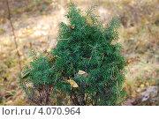 Купить «Можжевельник обыкновенный (Juniperus communis L.)», фото № 4070964, снято 5 октября 2008 г. (c) Анна Омельченко / Фотобанк Лори