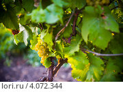 Купить «Виноградная белая гроздь», фото № 4072344, снято 31 июля 2011 г. (c) Иван Черненко / Фотобанк Лори