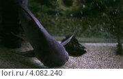 Купить «Большая рыбина в аквариуме», эксклюзивный видеоролик № 4082240, снято 3 декабря 2012 г. (c) Юлия Машкова / Фотобанк Лори