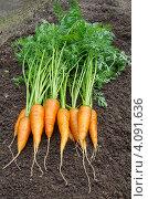 Купить «Свежая морковь на грядке», эксклюзивное фото № 4091636, снято 12 августа 2012 г. (c) Елена Коромыслова / Фотобанк Лори