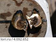 Купить «Открытая морская устрица на борту судна», фото № 4092652, снято 2 декабря 2012 г. (c) Робул Дмитрий / Фотобанк Лори