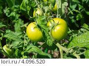 Купить «Зреющие помидоры на грядке», эксклюзивное фото № 4096520, снято 4 августа 2012 г. (c) Елена Коромыслова / Фотобанк Лори