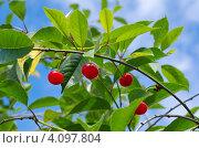 Купить «Ветка вишни с ягодами на фоне голубого неба», эксклюзивное фото № 4097804, снято 29 июня 2012 г. (c) Елена Коромыслова / Фотобанк Лори
