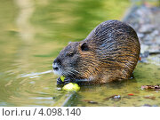 Нутрия в естественной среде обитания. Стоковое фото, фотограф Эдуард Кислинский / Фотобанк Лори