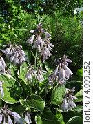 Купить «Декоративное растение хоста (лат. Hosta)», эксклюзивное фото № 4099252, снято 23 июля 2012 г. (c) lana1501 / Фотобанк Лори