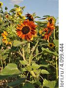 Купить «Декоративный подсолнух (Helianthus annuus L.)», эксклюзивное фото № 4099444, снято 29 июля 2012 г. (c) lana1501 / Фотобанк Лори
