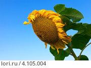 Купить «Подсолнух на фоне голубого неба», фото № 4105004, снято 21 августа 2012 г. (c) FotograFF / Фотобанк Лори