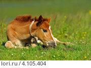 Купить «Жеребенок лежит на зеленом лугу», фото № 4105404, снято 7 июня 2009 г. (c) Эдуард Кислинский / Фотобанк Лори