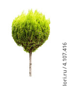 Купить «Дерево туя на белом фоне», фото № 4107416, снято 12 августа 2012 г. (c) Сергей Жуковский / Фотобанк Лори