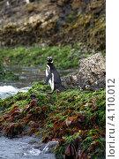 Один магелланов пингвин (Spheniscus magellanicus) в естественной среде обитания на архипелаге Чилоэ, Чили (2010 год). Стоковое фото, фотограф Nadejda Trifonova Jeraj / Фотобанк Лори