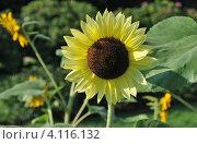 Купить «Подсолнечник (Helianthus annuus L.)», эксклюзивное фото № 4116132, снято 29 июля 2012 г. (c) lana1501 / Фотобанк Лори