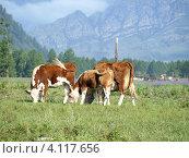 Купить «Коровы на лугу. Алтай, Россия», фото № 4117656, снято 27 января 2020 г. (c) Алексей Кокоулин / Фотобанк Лори